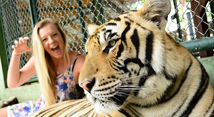 Things To Do In Phuket Thailand: Tiger Kingdom Park at ...